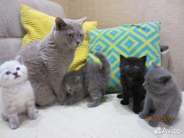 Британские котята новосибирск авито