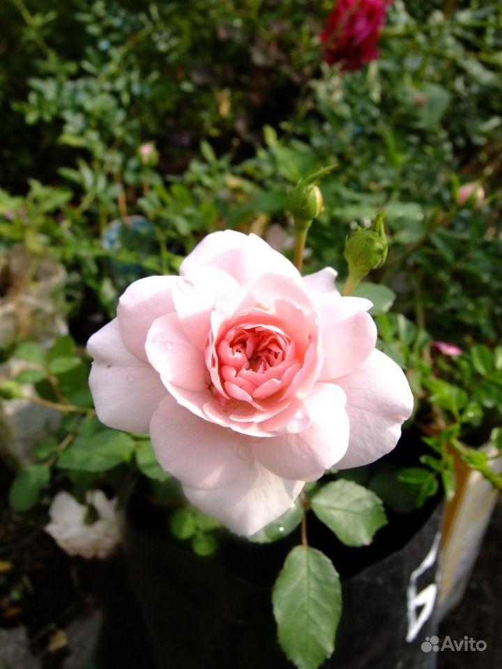 Саженцы роз купить на Зозу.ру - фотография № 7