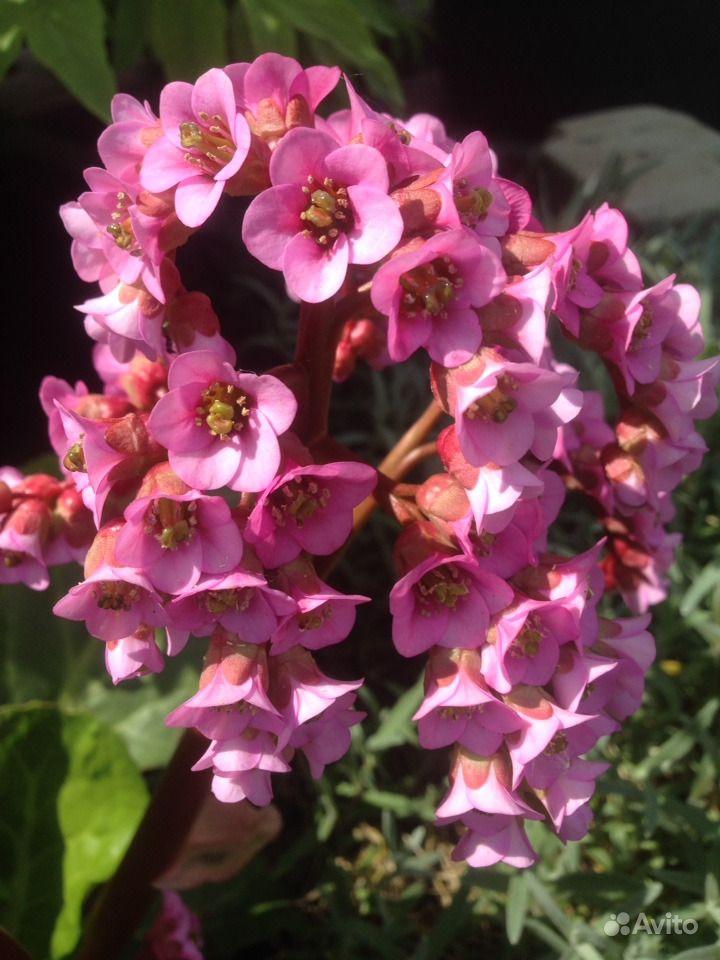 Садовые многолетники :лилейники,медуница 2 вида,ба купить на Зозу.ру - фотография № 6