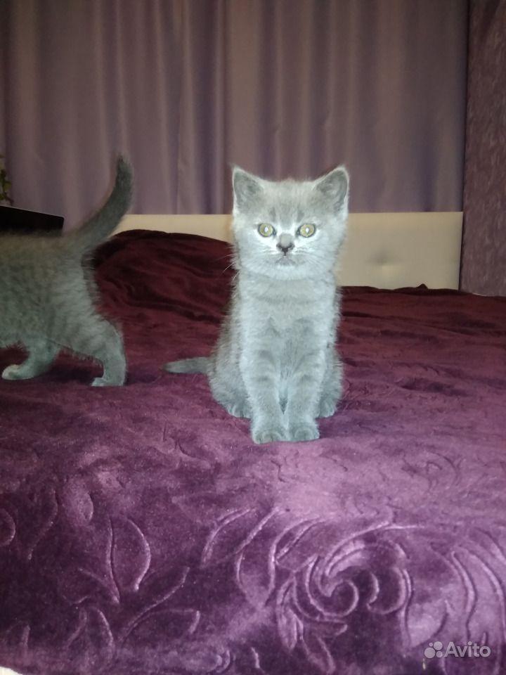 Шотландские котята в Горшечном - фотография № 1