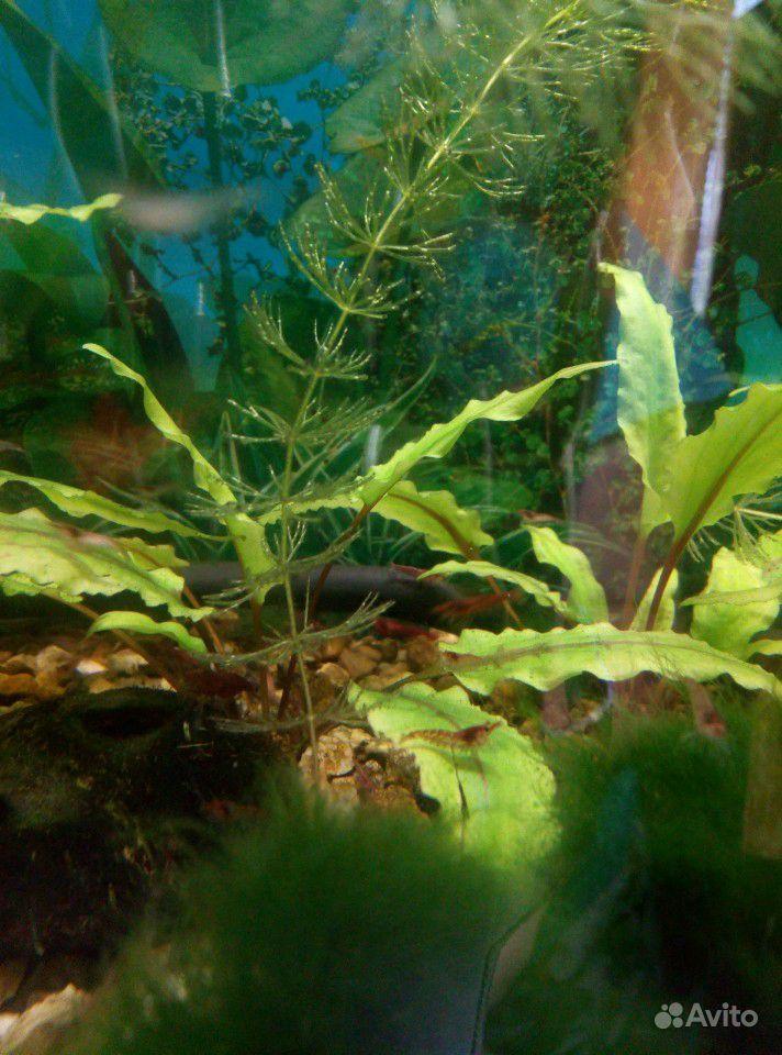Аквариумные креветки и растения