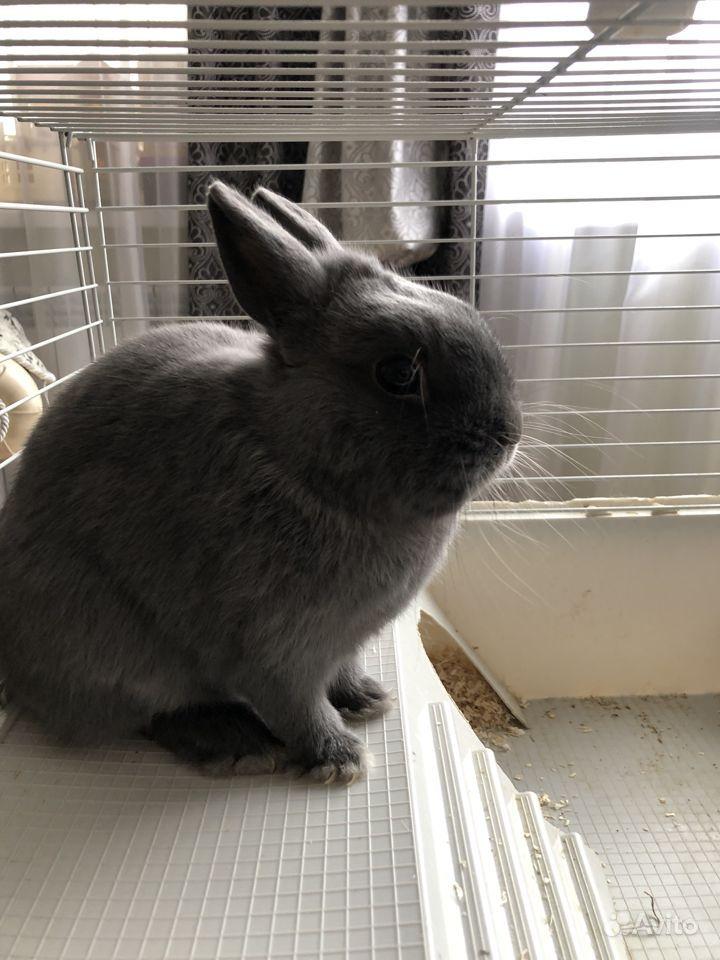 Кролик голубой декоративный с клеткой