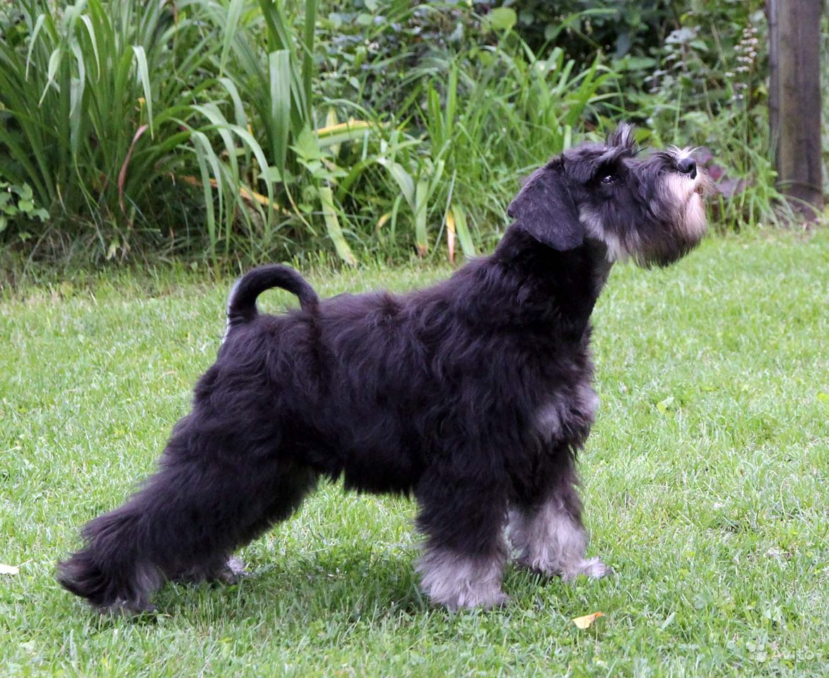 Элитный щенок цвергшнауцер черный с серебром