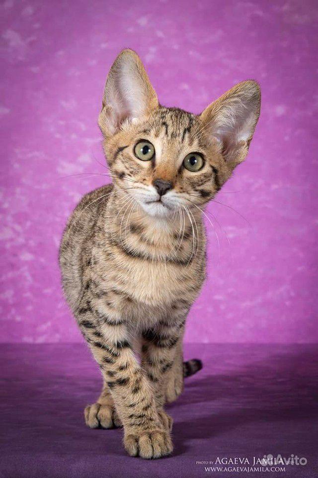 Котята саванна ф4 - фотография № 4