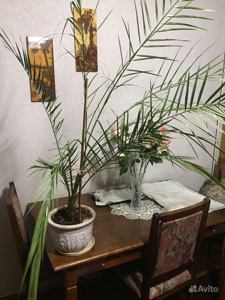Финиковая пальма купить на Зозу.ру - фотография № 3