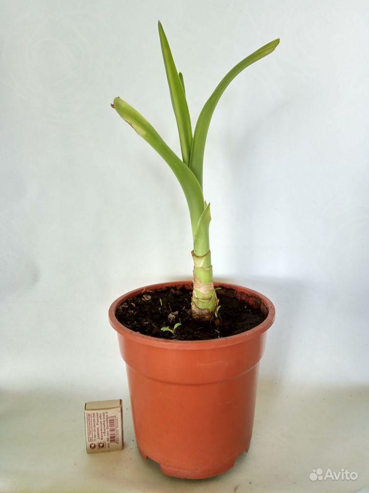 Комнатные растения - кливия и другие растения купить на Зозу.ру - фотография № 6