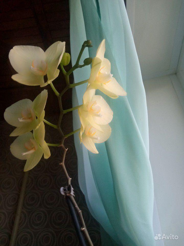 Орхидеи купить на Зозу.ру - фотография № 2
