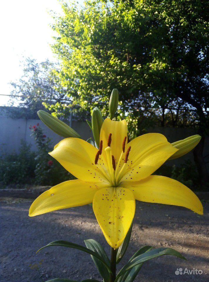 Продам лилии купить на Зозу.ру - фотография № 2