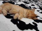 Помесь персидской кошки