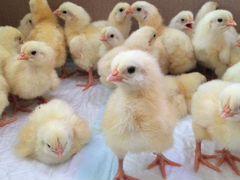 Цыплята, индюшата, утята