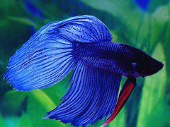 Аквариумная рыбка «Петушок вуалевый»