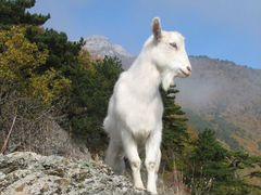 Коза зааненская - дойная