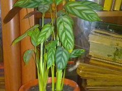 Комнатные растения (Калатея)