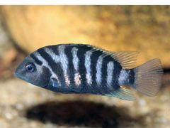 Чернопоосая рыбка взрослая