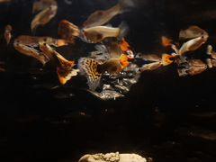 Гуппи, авариумные рыбки
