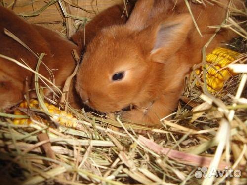 кролики мясных пород фото цена