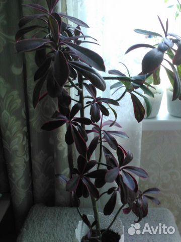 Авито чайковский растения