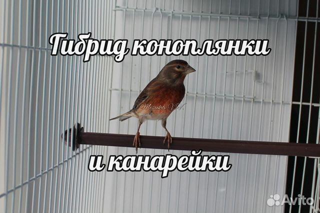 Гибрид коноплянки и канарейки г.Ставрополь 3259122068