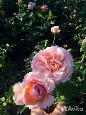 Купить розы саженцы в темрюке живые цветы в луганске
