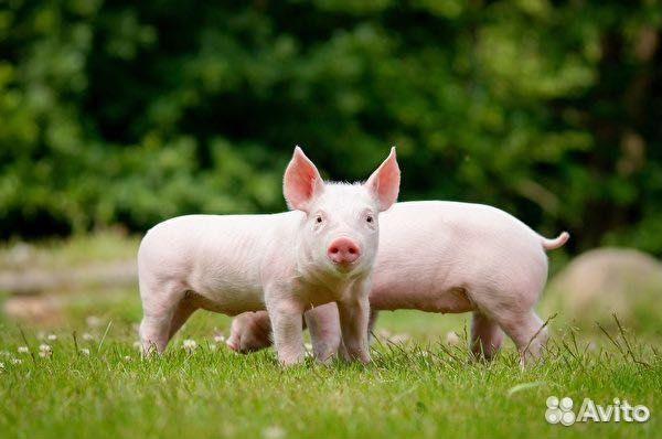 Продам мясо Свинины с личного подворья 89069691643 купить 1