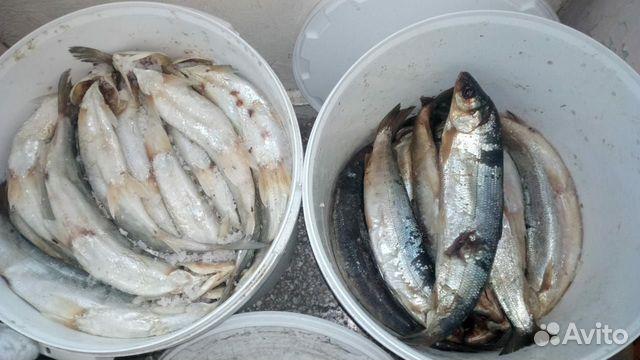 Скупка рыбы ломоносовский район