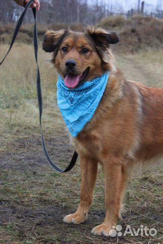 Рыжая собака красотка Джесси в дар купить на Зозу.ру - фотография № 5