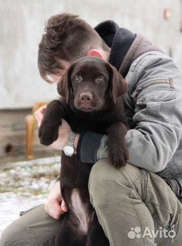 Подрощенные щенки лабрадора купить на Зозу.ру - фотография № 6