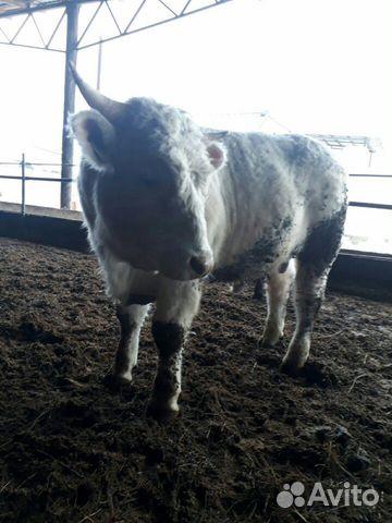 рогальский подтвердил фото быков племзавод богородицкое смоленск вас сегодня хочу