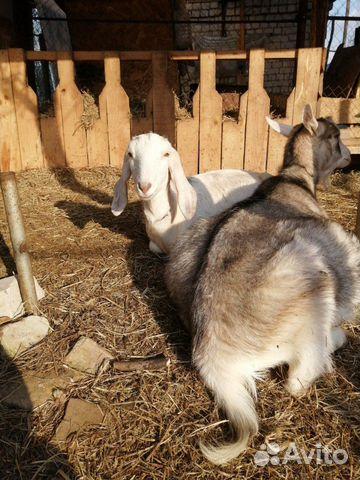 Кoзы и козлята англо-нубийские купить 8