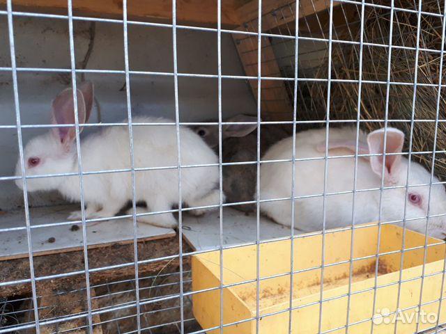 Кролик  89277704326 купить 6