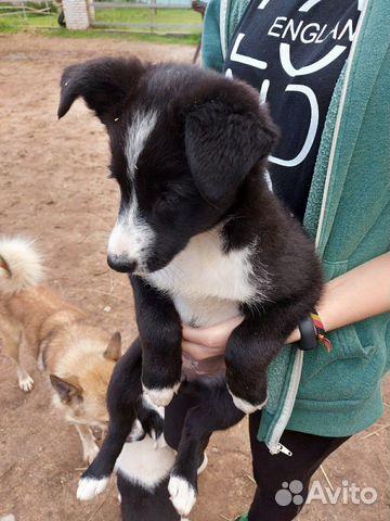 Собака  89160831536 купить 4