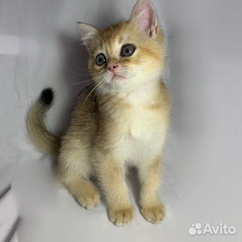 Кошка  89064224049 купить 1