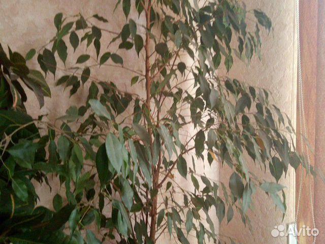 Домашние цветы  89050600151 купить 1
