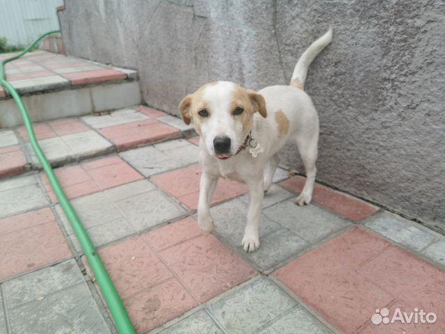 Собака джек Рассел  89272328491 купить 1