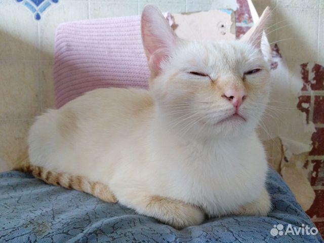 Сиамская кошка окрас ред-пойнт в добрые руки  89623042671 купить 5