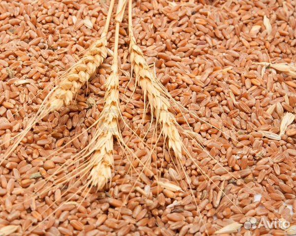 Пшеница  89036323401 купить 2
