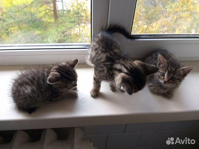 Кошка  89025426735 купить 2