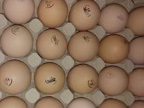 Инкубационное яйцо Европа — Птицы в Москве