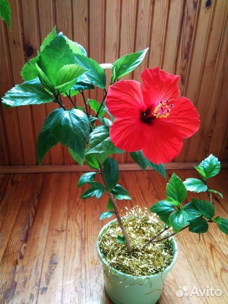 Гибискус (детки и взрослые растения)  89220007860 купить 2