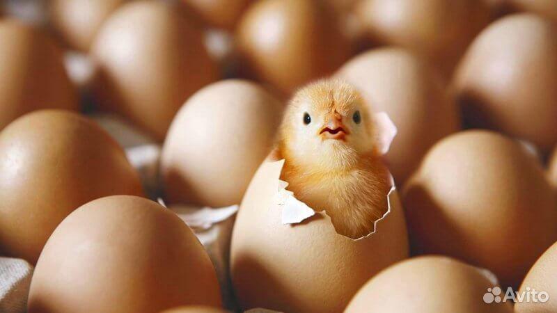 Яйцо инкубационное кур-несушек 89081007776 купить 1