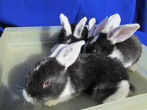 Кролики белоухие
