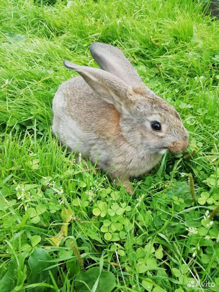 Кролики  89997865033 купить 5