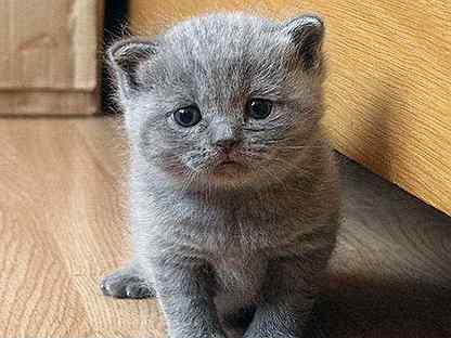 Серебристый пятнистый табби окрас британских кошек: фото галерея ... | 312x366