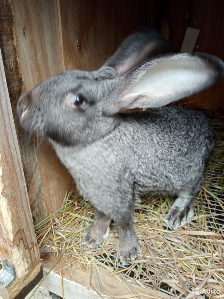 Продаются кролики  89058524280 купить 3