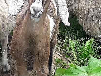Нубийские козы