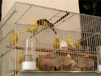 Канарейки — Птицы в Москве