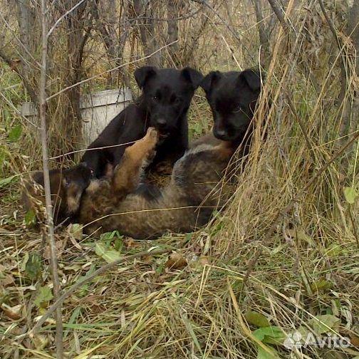 Красивые щенки ищут любящие семьи  89135639765 купить 2