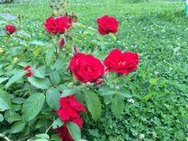 Продаю черенки роз