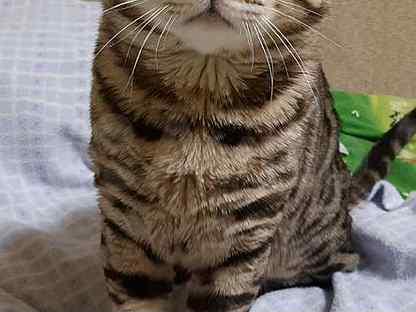 Бенгальский кот. Вязка