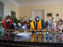 Предлагаем птенцов выкормышей 4 мес — Птицы в Москве